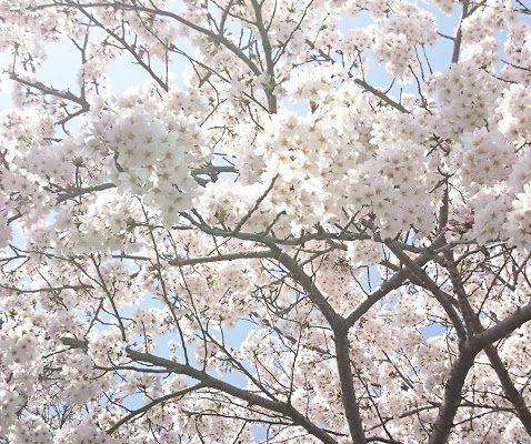 福山市 ネイル Kishimi(キシミー) ☆ 桜のシーズン到来!